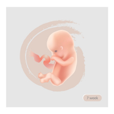 Baby development trimester 1 222